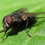 Мухи: описание, образ жизни, чем вредны мухи