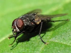 Изображени мухи