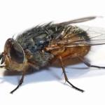 Избавляемся от мух-вредителей в квартире